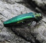 emerald ash borer in adult stage