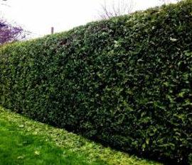cedar-hedge